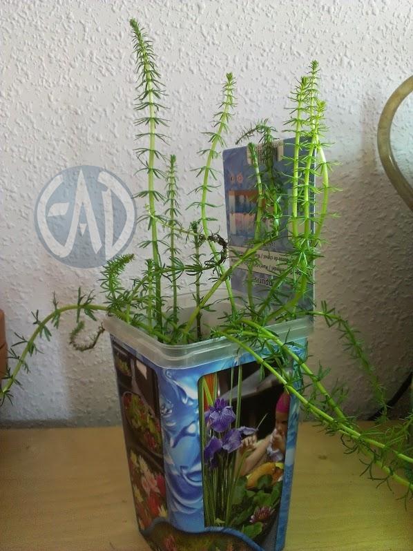 Plantas / Algas [ Atlas ] Hippurisvulgaris_zpsffaa47bd