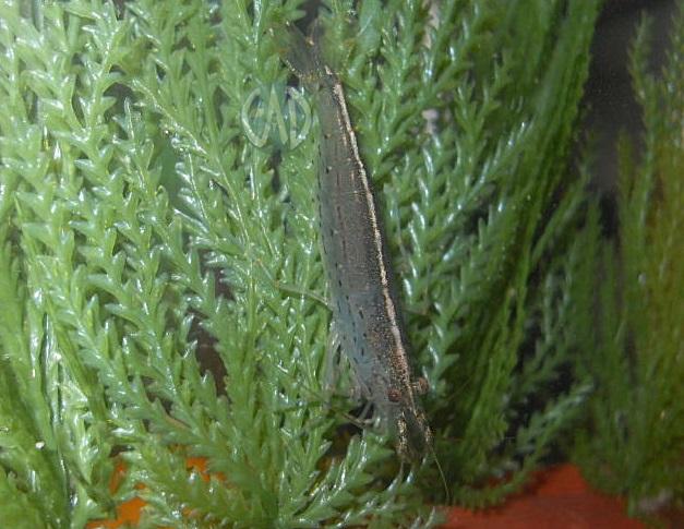 Invertebrados [Atlas] Caridina7_zps59143446