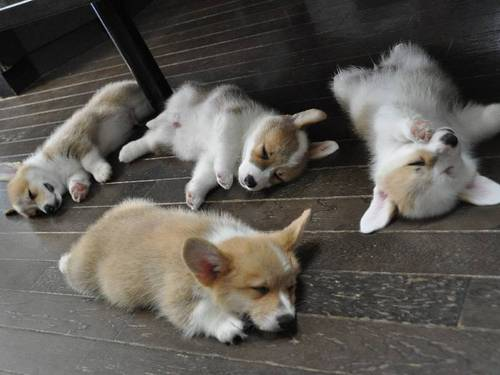 the all Dog thread! [2] Corgi1_zps9cb1619d