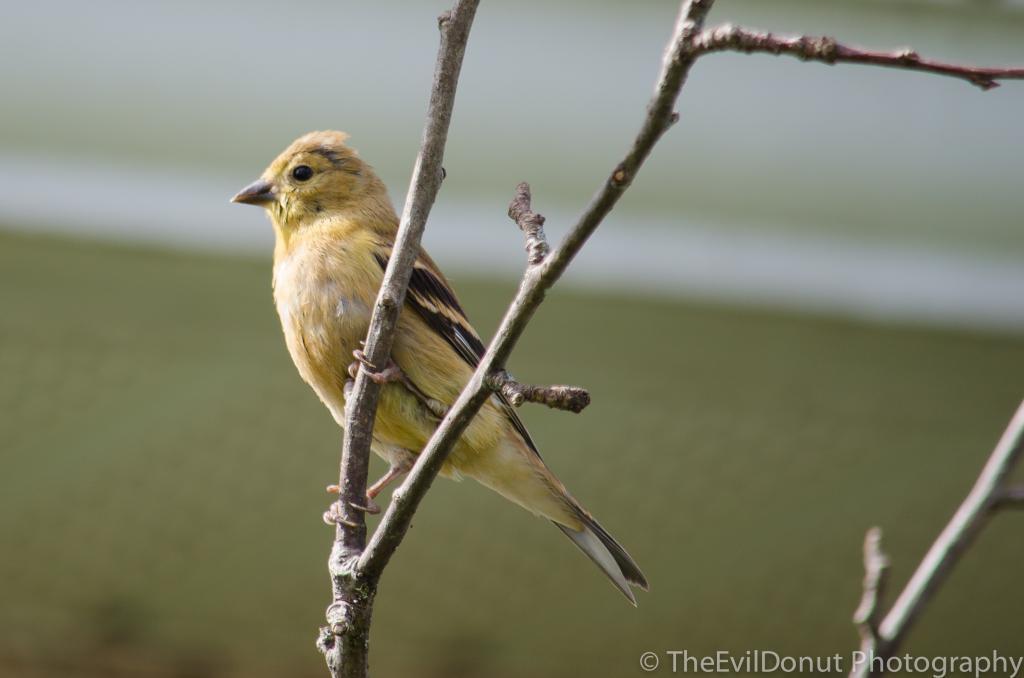 Chardonnerets jaunes ou parulines? BackyardBirds-2_zps54ef9ba6