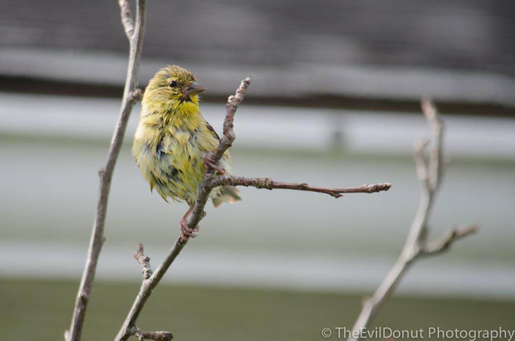 Chardonnerets jaunes ou parulines? BackyardBirds-4_zps42884b83