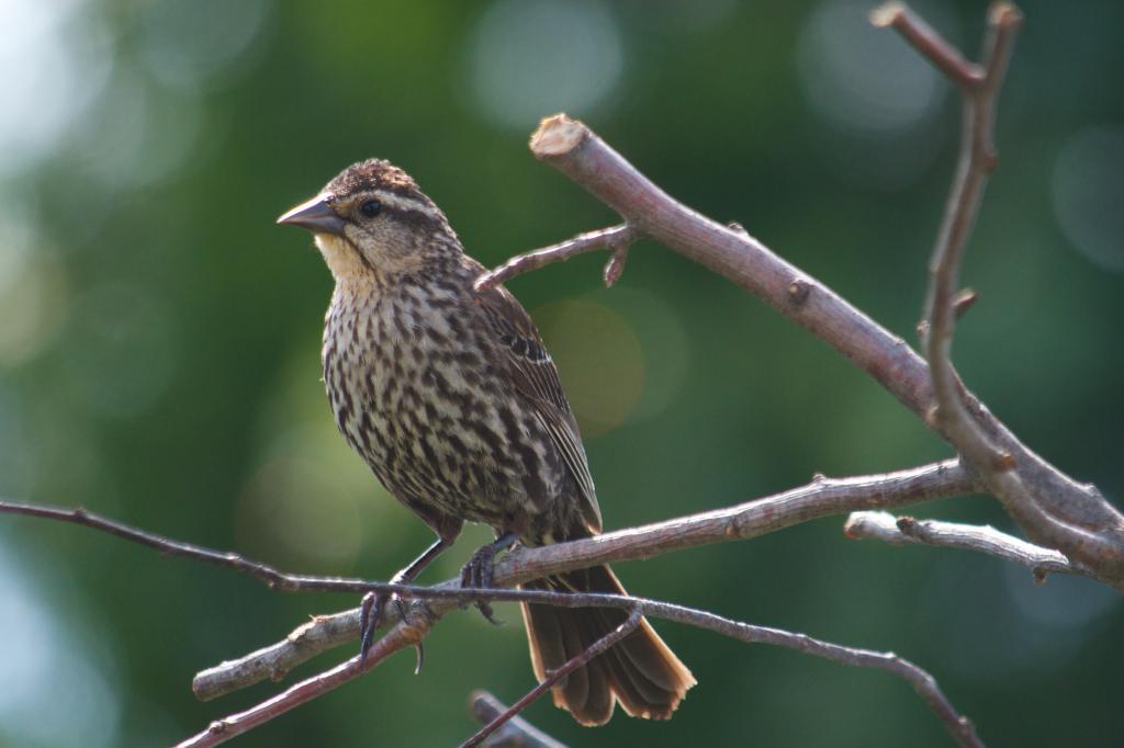 Oiseaux communs j'en suis sûr mais je ne les connais pas AideID2_zpsa305448b