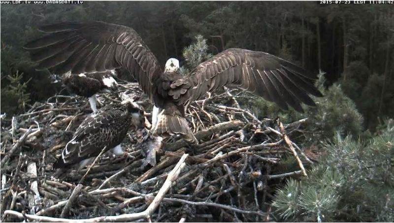 Latvian Osprey Nest ~2015~ Laima & Pēteris Etrdsh_zpswicljk2d