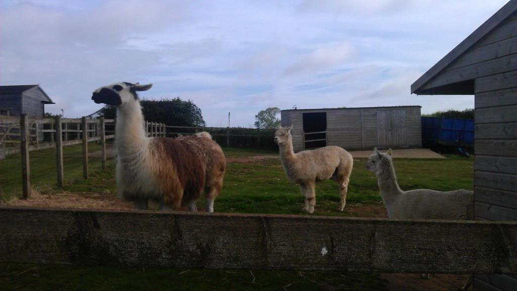 Llama and alpacas! - Page 2 1008891_4624646228989_1407389631_o_zpsc6329412