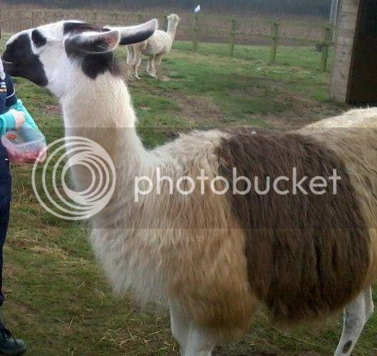 Llama and alpacas! - Page 2 603024_560574250620774_270083140_n_zps3d1fe629