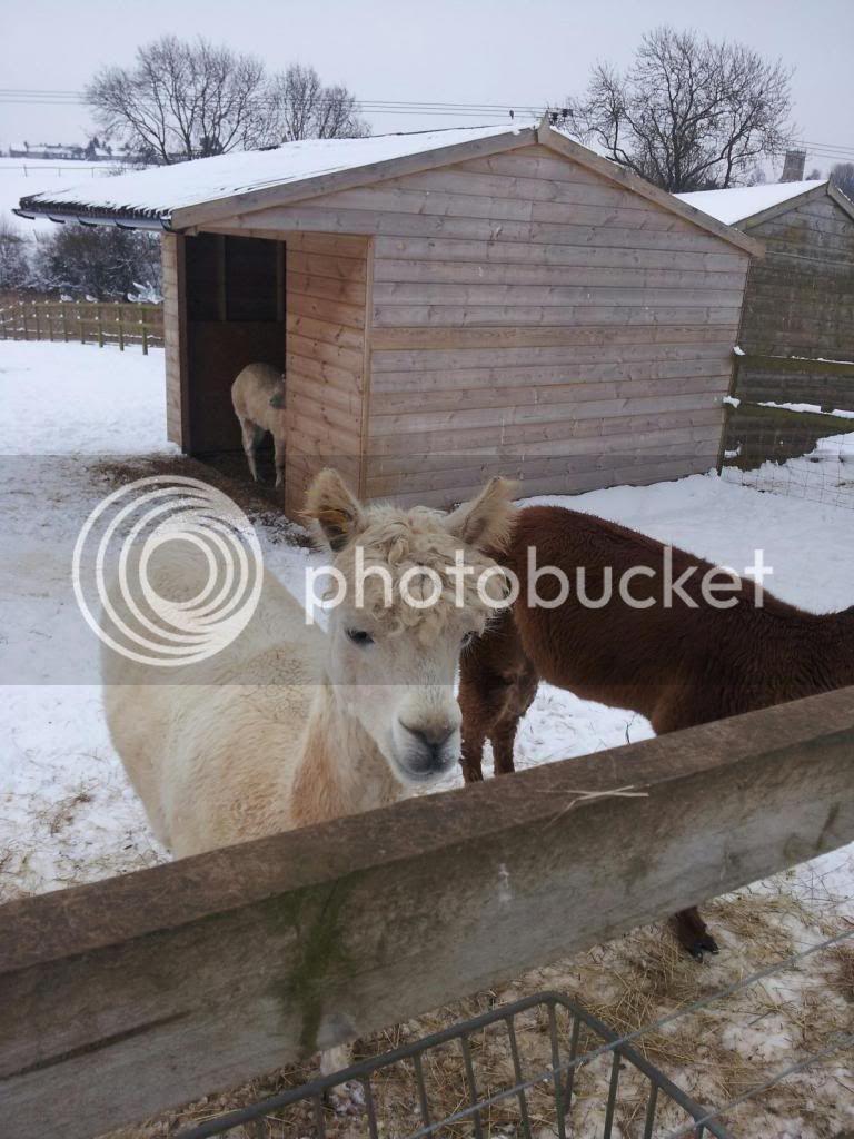 Llama and alpacas! - Page 2 774396_515518975159020_802713235_o_zpsfe96bc2e