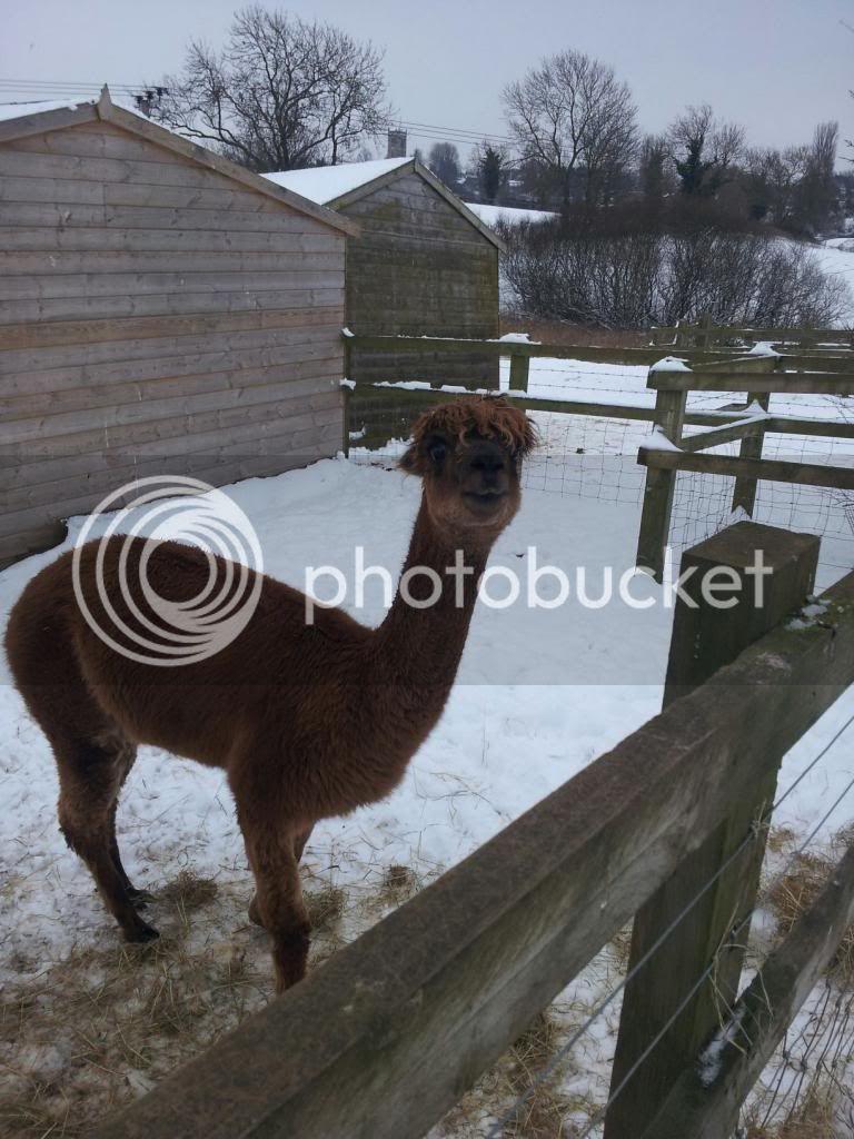 Llama and alpacas! - Page 2 774831_515518935159024_420192870_o_zps48dc2471
