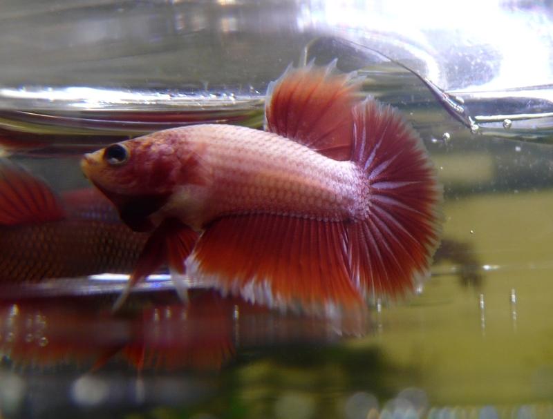 Jeunes rouges et autres issus de HM BF rouge male X VL rouge femelle 20150211RBF2A_zps507a87d8