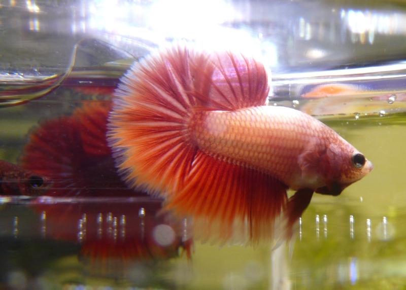 Jeunes rouges et autres issus de HM BF rouge male X VL rouge femelle 20150211RBF2B_zpsef5467f8