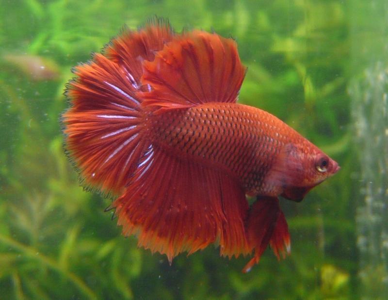 Jeunes rouges et autres issus de HM BF rouge male X VL rouge femelle 20150215MALE1A_zps5f7ca330