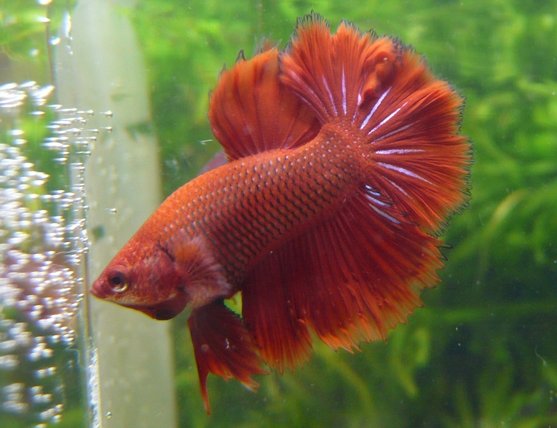 Jeunes rouges et autres issus de HM BF rouge male X VL rouge femelle 20150215MALE1B_zps5a5aaa08