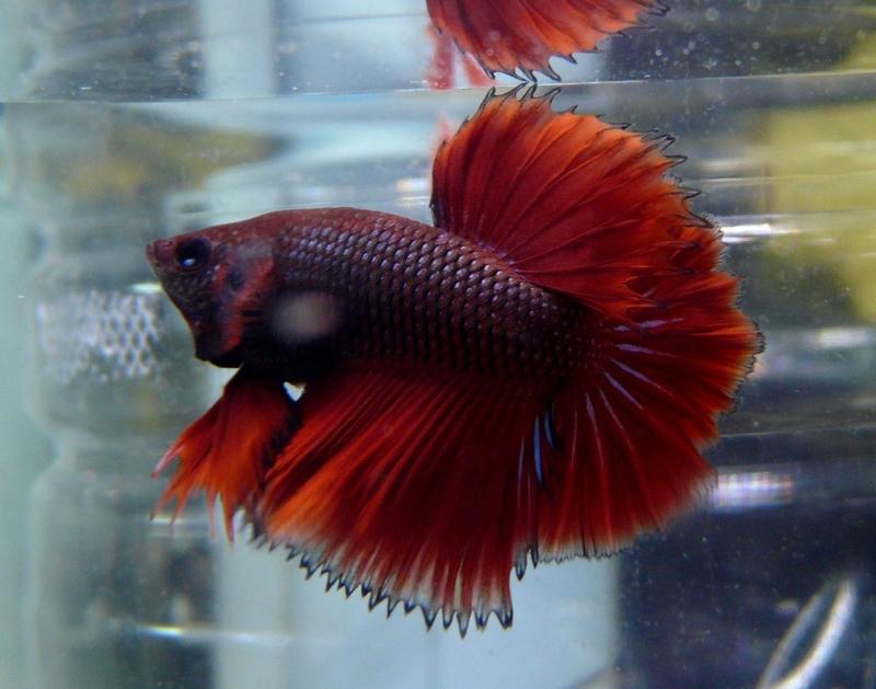 Jeunes rouges et autres issus de HM BF rouge male X VL rouge femelle 20150215MALE2A_zps27880192