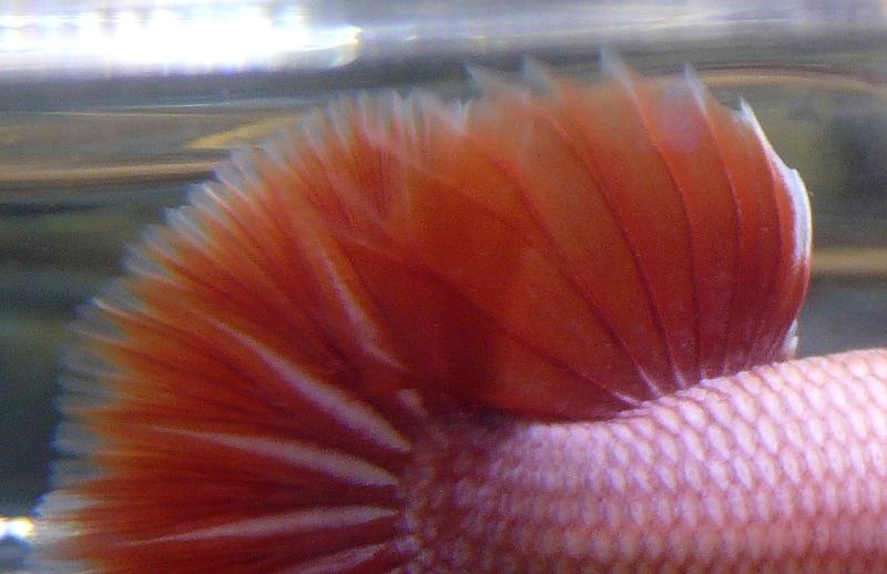 Jeunes rouges et autres issus de HM BF rouge male X VL rouge femelle 20150215MALE4GP_zps4122d616