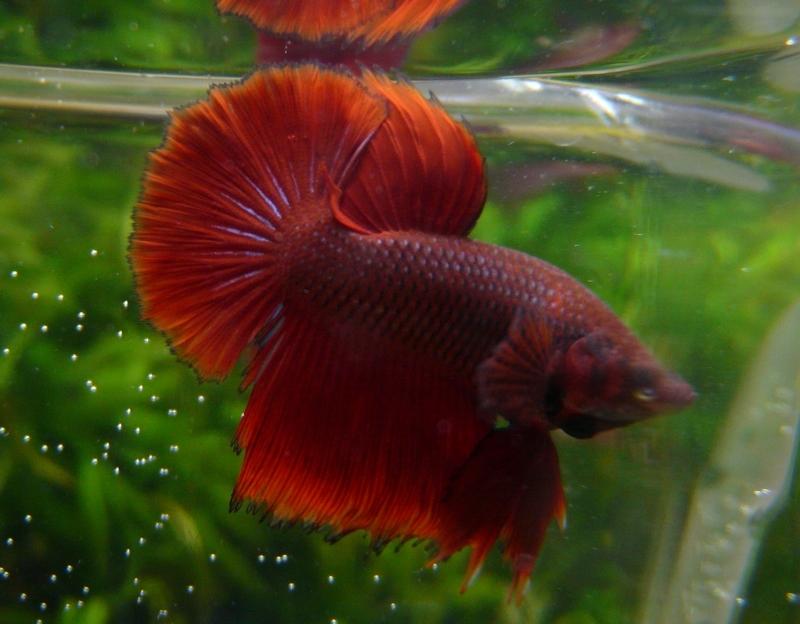 Jeunes rouges et autres issus de HM BF rouge male X VL rouge femelle 20150215MALE5A_zps84d60c33