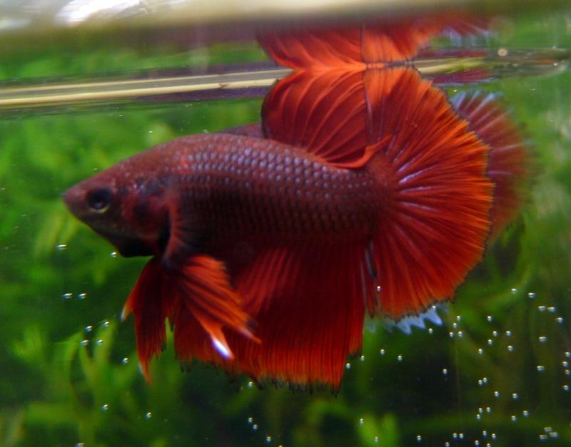 Jeunes rouges et autres issus de HM BF rouge male X VL rouge femelle 20150215MALE5B_zps76147ea0