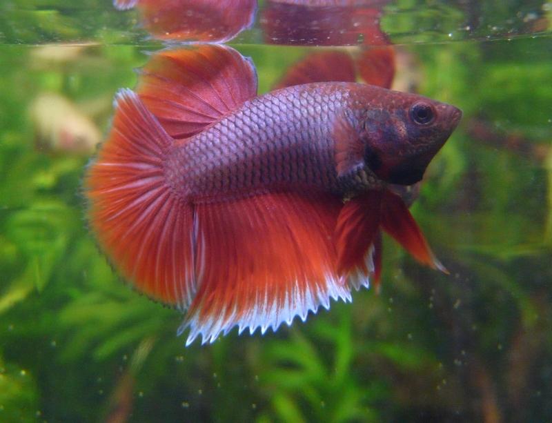Jeunes rouges et autres issus de HM BF rouge male X VL rouge femelle 20150215MALESALAA_zpsb2d762b9