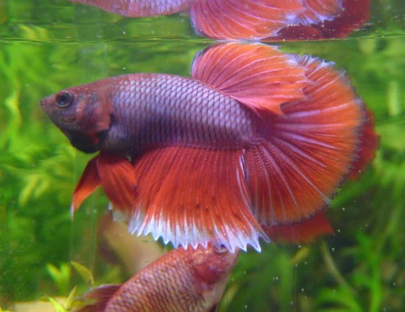 Jeunes rouges et autres issus de HM BF rouge male X VL rouge femelle 20150215MALESALAB_zps781eb296