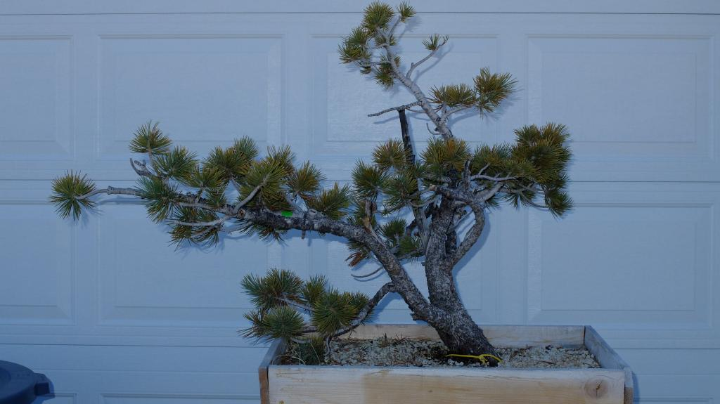 Pinus Flexilis - First styling Fuji103012_zps1e47f4a0
