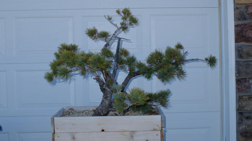 Pinus Flexilis - First styling Fuji103015_zps81e5a6d0