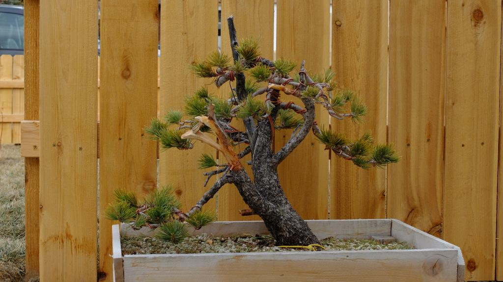 Pinus Flexilis - First styling Fuji104010_zpsa372f911
