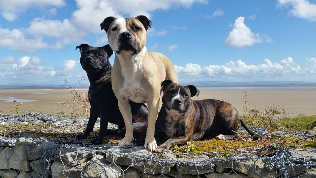 My 3 staffies on holiday in the lake district Dogs%202_zpstgu1ulw3