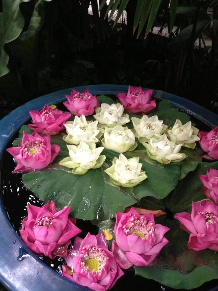 சேனையை அலங்கரிக்கும் பூக்கள் 02 Thailand2013too006_zps02690279