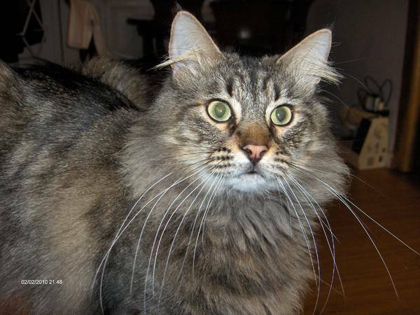 Missing Cat-Bam Bam (Alexandria, VA)  3G63te3q85L45G35r9d763a105c075dc91e45_zps2a67a98e
