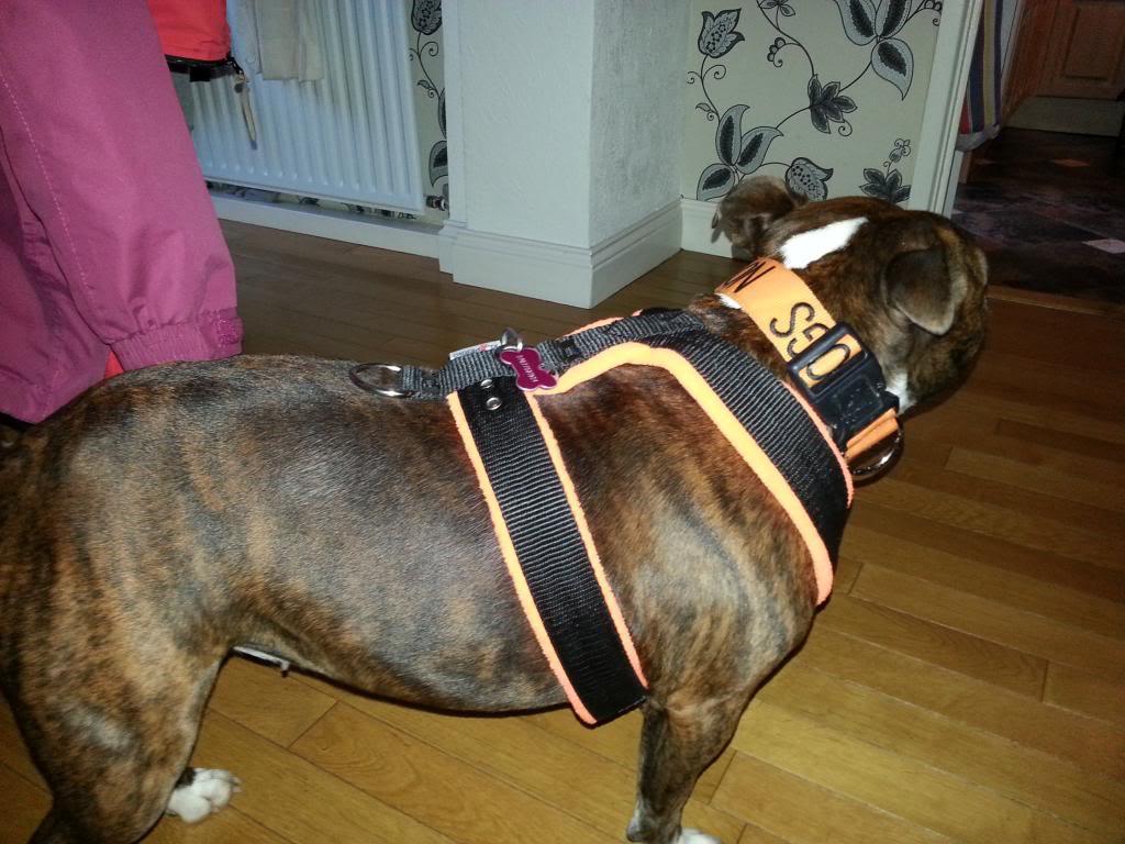 El Perro harnesses have arrived 003_zps1c086741
