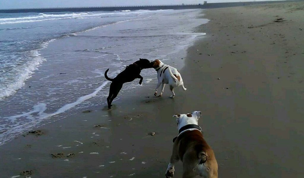 At the beach with the bulldogs ZOE_0368_0000013751_1_zpsqtia9nsu