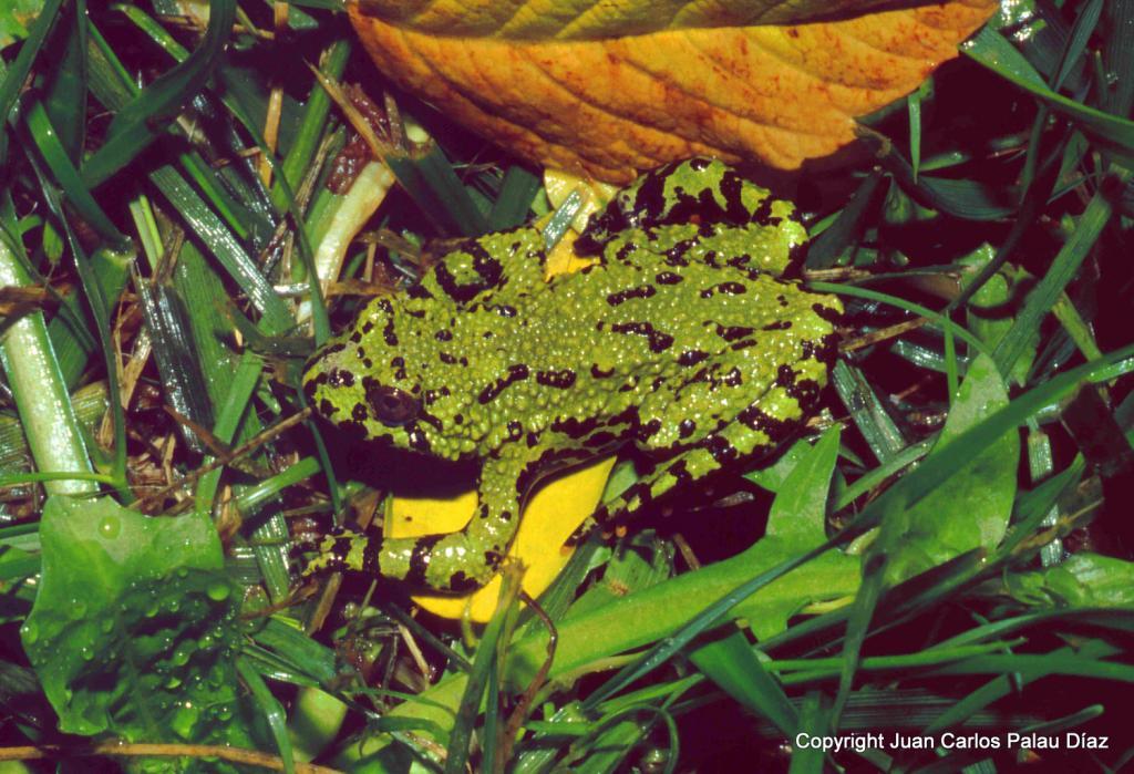 Anfibios y reptiles acuáticos [Atlas] ZZbombinaencalle2001_editado-1_zpsb742aa16