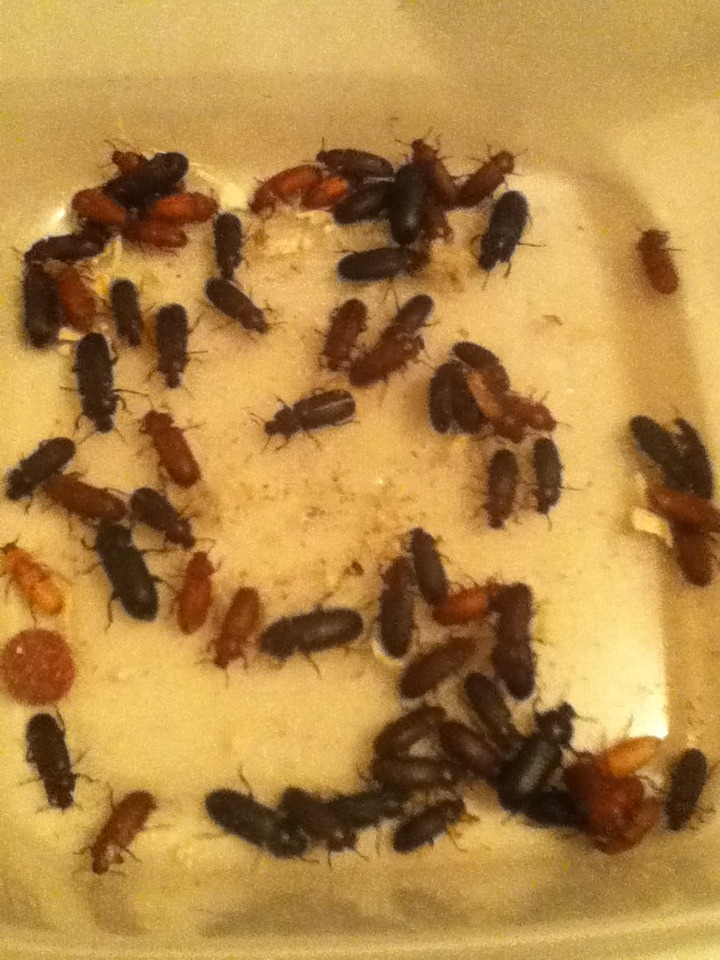 Mealworm Colony 2015! [Picture Thread] - Page 3 IMG_1334_zps74qhtdbn