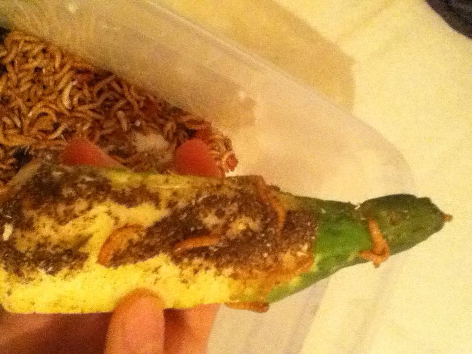 Mealworm vs Cucumber August 2015! [Discontinued] IMG_1538_zpsqa0oeuka