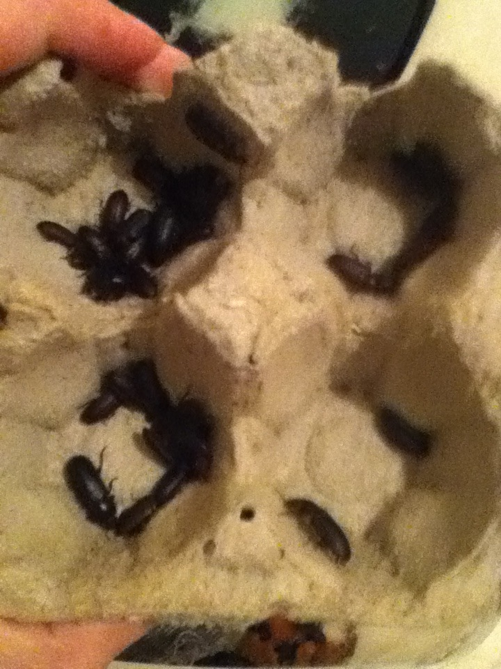 Mealworm Colony 2015! [Picture Thread] - Page 4 IMG_1553_zpsxx8fo3dc