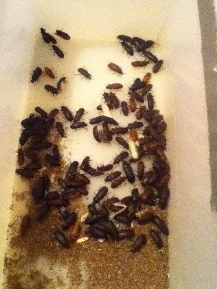 Mealworm Beetle Colony August 26/2015 Over-Feeding Challenge 2015 IMG_1793_zpseoaezhwz