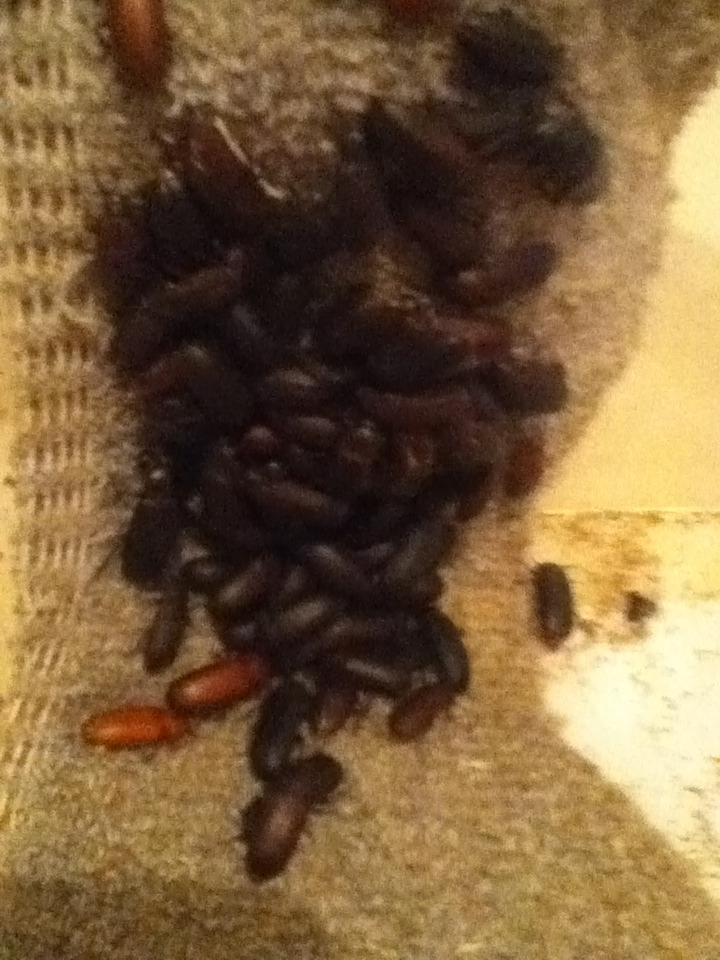 Mealworm Beetle Colony August 26/2015 Over-Feeding Challenge 2015 IMG_2013_zps57qqslga