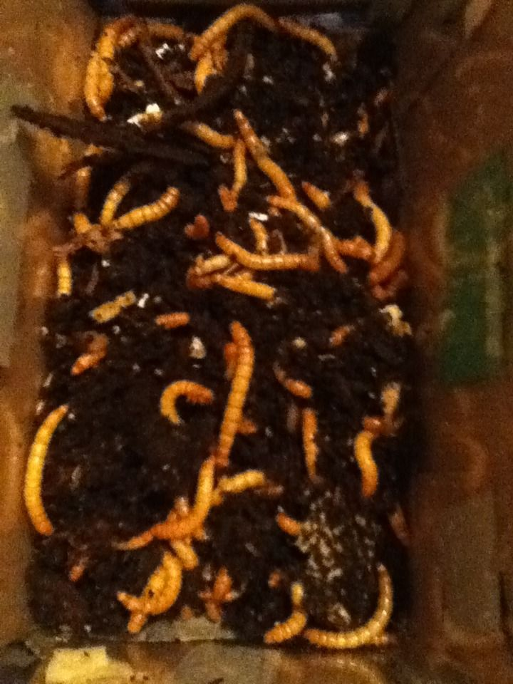 Mealworm Colony 2015! [Picture Thread] - Page 4 IMG_2196_zps07gp9g7d