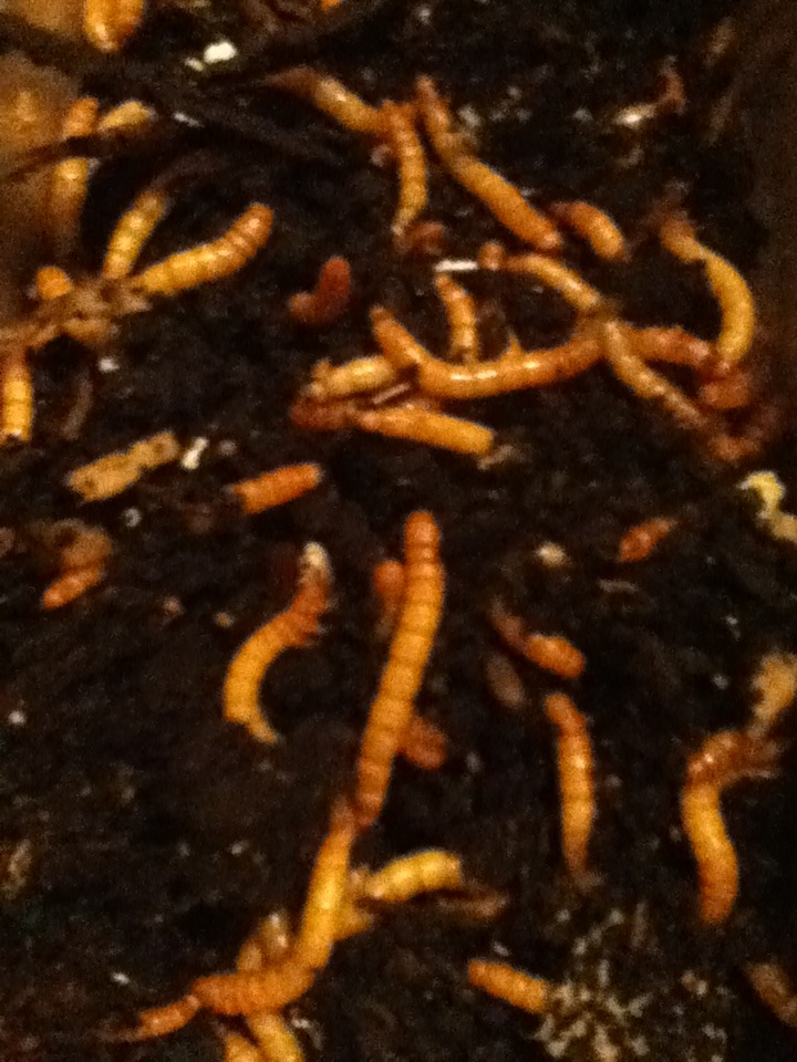 Mealworm Colony 2015! [Picture Thread] - Page 4 IMG_2197_zpsygfyw1xs