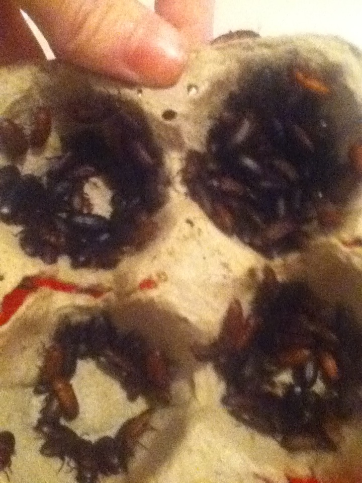 Mealworm Colony 2015! [Picture Thread] - Page 5 IMG_2429_zpsasyqx4qt
