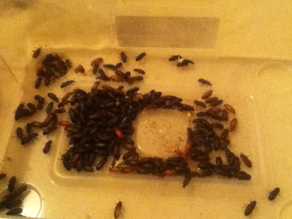 Mealworm Colony 2015! [Picture Thread] - Page 6 IMG_2643_zpsqlpaadrb