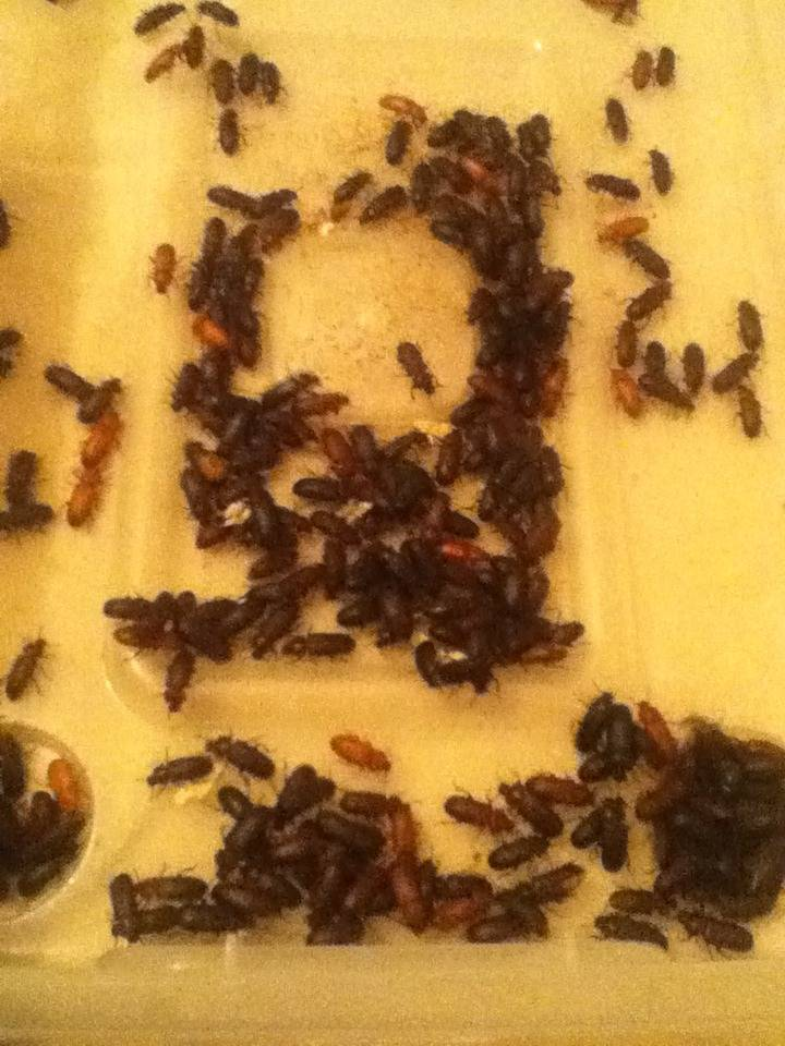 Mealworm Colony 2015! [Picture Thread] - Page 6 IMG_2648_zps0dc24oyi