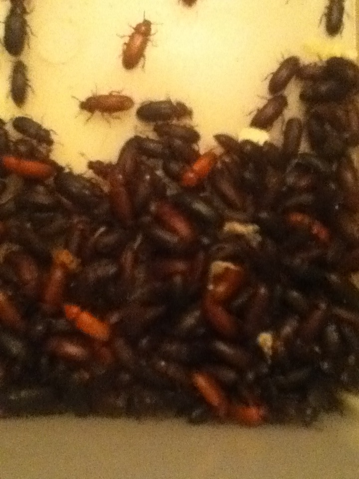 Mealworm Colony 2015! [Picture Thread] - Page 6 IMG_2659_zps5n9ks6ft