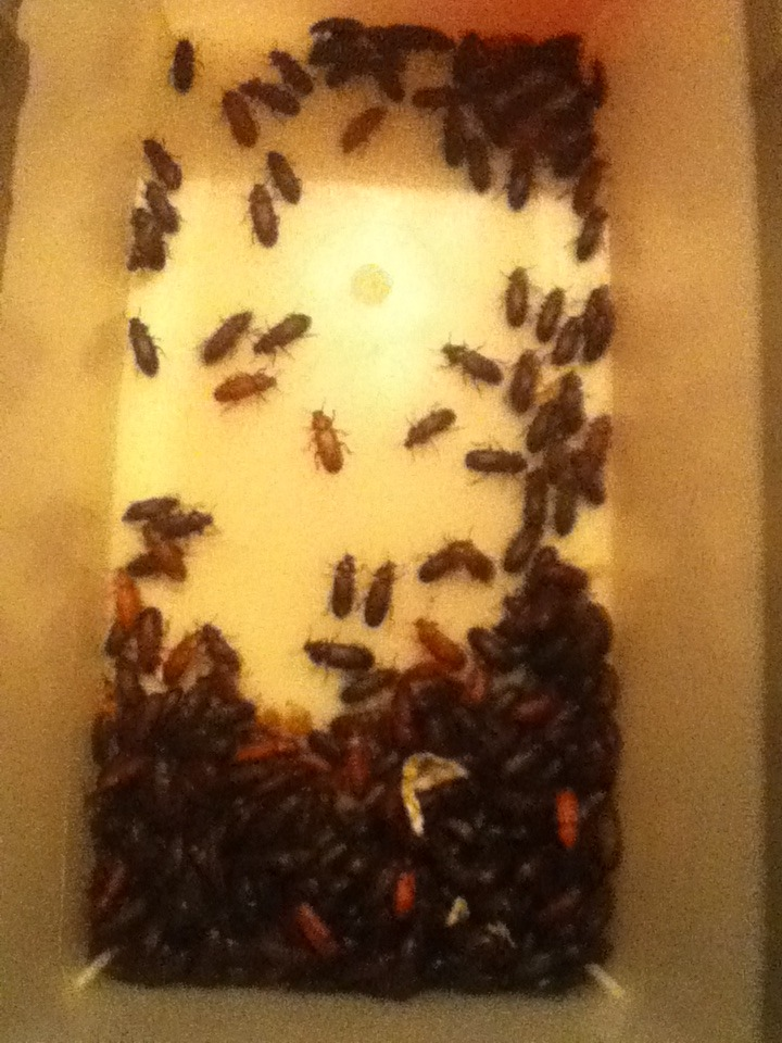 Mealworm Colony 2015! [Picture Thread] - Page 7 IMG_2665_zpskj6ekoma