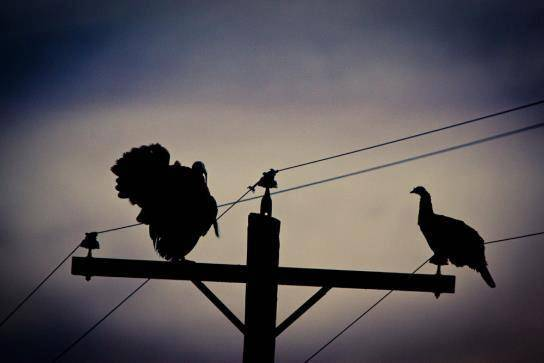 turkeys on top of a telephone pole!! 7960_267503613385589_1186007386_na_zps48da8ca3
