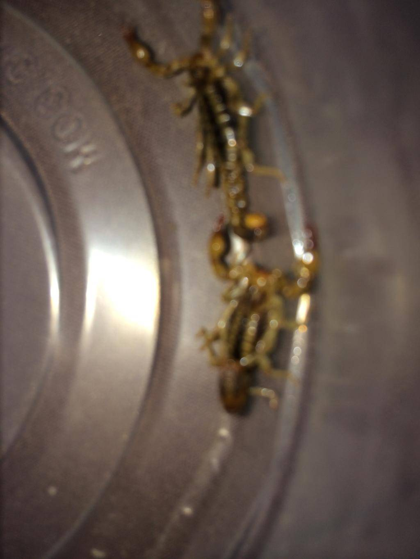 Small scorpion ID DE04D256-F88D-4D28-BC19-8D6DEB587676_zpspgdrjjto