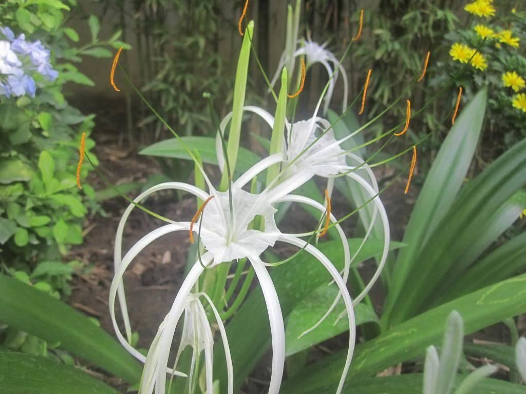 ID plante à fleurs parfumées IMG_8246_zps07d7c3dd