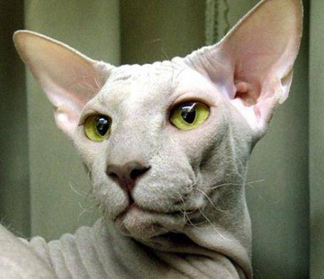 Кошки (Cats) Peterbold_zpsd2914974