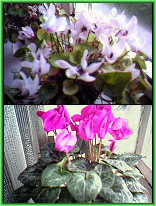 Мир цветов, растений, деревьев Ciklomenai2_zps72e88959