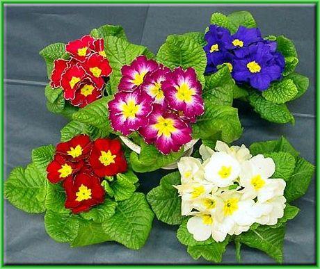 Мир цветов, растений, деревьев Primule_zps126d488c