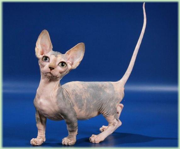 Кошки (Cats) Bambino_zps7d4fc4d0