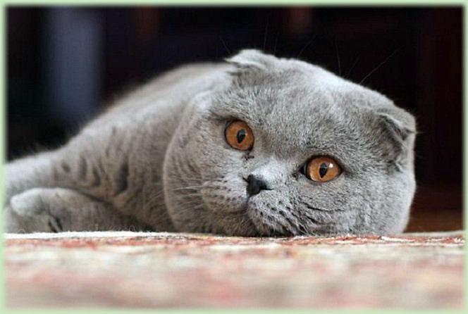 Кошки (Cats) Skotu_zps07781b8c
